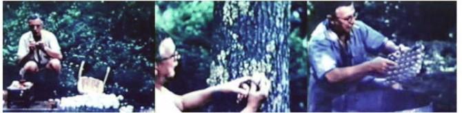 1955년 진행된 케틀웰의 실험 장면. 나방 날개 밑에 표시를 한 뒤(왼쪽) 나무 기둥에 풀어주고(가운데) 일정한 시간이 지난 뒤 회수해(오른쪽) 생존율을 추정했다. - Tinbergen 제공